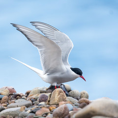 Arctic Tern 19-May-19 M_007 (gomo.images) Tags: 2019 artictern bird country moray nature scotland speybay years