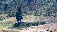 Wenn die Kühe chillen (Dioscorea Mexicana) Tags: alm alpen alps austria österreich kärnten carintia nockberge nock mountain hike wandern grün green kühe kuh cow cows zirbe