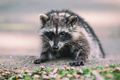 Rocky Raccoon (Thomas Hawk) Tags: america animal bayarea california eastbay piedmont racoon sfbayarea us usa unitedstates unitedstatesofamerica westcoast raccoon fav10 fav25 fav50 fav100