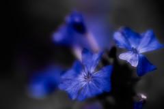 Moody Blue (Kei Edamatsu) Tags: flower flowers nature macro blue ceratostigma garden