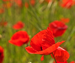 Val D'Orcia Day 4001_132 (janetliz) Tags: italy tuscany valdorcia spring flowers poppy field