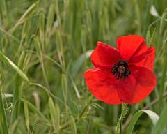 Val D'Orcia Day 4001_36 (janetliz) Tags: italy tuscany valdorcia spring poppy