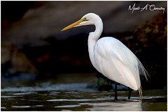 The Fish Hunter! (MAC's Wild Pixels) Tags: thefishhunter greategret ardeaalba egret bird birdlife birdwatcher birdsofeastafrica birdperfect birder birdlifephotography beautifulbird animal wildlife africanwildlife wildafrica wildanimal wildbird wildlifephotography avian plumage feathers ornithology safari boatride outdoors outofafrica nature naturephotography sunrise goldenhour goldenlight fisher hunter commonegret largeegret greatwhiteegret lakebaringo greatriftvalley kenya macswildpixels wildpixelsafaris munibachaudry coth alittlebeauty fantasticnature coth5