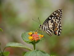 Efímera belleza (jantoniojess) Tags: butterfly mariposa alas wings macro macrofotografía panasoniclumixg80 naturaleza nature mariposario mariposariodeníjar almería bokeh bokehwithflowers