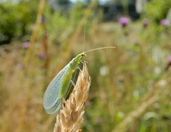Green lacewing (rockwolf) Tags: greenlacewing neuroptera lacewing chrysopidae chrysopasp insect bretoncelles parcduperche france 2019 rockwolf