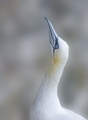 Looking up (Gill Stafford) Tags: gillstafford gillys image photograph bird bemptoncliffs bridlington bempton yorkshire gannet sea gull seagull