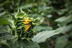 Ready to bloom (Yuri Dedulin) Tags: 2019 attraction blooming county flowers fun maze nj nature newjersey sunflower sussex sussexcountysunflowermaze tourist weekends yuridedulin colorimage daytrip farm outdoor sussexcountysunflowermazecom
