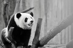 Chengdu Research Base of Giant Panda Breeding | Chengdu (成都市), Sichuan Province, China (Ping Timeout) Tags: chengdu china sichuan province giant panda research base breeding 成都 成都市 people republic 西京 四川省 capital 中华人民共和国 national park 中国 1987 chenghua district endangered species protect conservation 大熊猫 bear native bamboo outdoor black white dà xióng māo ailuropoda melanoleuca telephoto close up