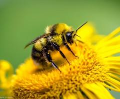 Eine Hummel (Andi Fritzsch) Tags: hummel bumblebee makro macro macrophotography closeup closeupphotography natur nature naturephotography flower flowers flowerphotography blume blüte nikon nikond5100 tamron tamron60mm fantasticnature