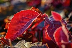 20190824-2781-Blad-bw (Rob_Boon) Tags: blad dikkebuiksweg macro on1 plant tegenlicht robboon