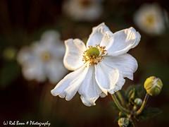 20190823-2778-Anemoon-bw (Rob_Boon) Tags: anemoon dikkebuiksweg macro on1 plant tuin robboon