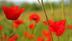 Val D'Orcia Day 4001_67 (janetliz) Tags: italy tuscany valdorcia spring flowers poppy field