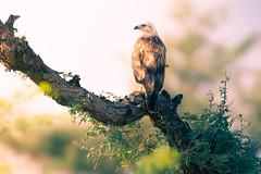 a beautiful Buzzard (Rajiv Lather) Tags: vögel vogelstand birds birding birder buzzards india indian image photograph pic photo nature wildlife trees