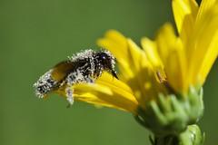 Couvert de pollen (michel David photography) Tags: pollen macro insecte
