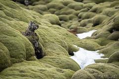Temps de chien (Papayankee33) Tags: lakilava boîtieretobjectifs natureetpaysages continentsetpays cielmétéo matériel neige mousse techniquephoto végétaux islande nikond750 europe nikon70200f4gvr is isl iceland skaftárhreppur suðurland