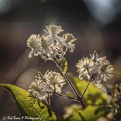 20190824-2795-Christoffelkruid-bw (Rob_Boon) Tags: christoffelkruid dikkebuiksweg macro on1 plant tegenlicht robboon backlight