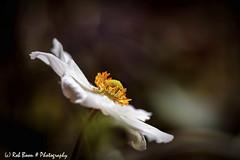 20190831-3011-Anemoon-bw (Rob_Boon) Tags: anemoon macro on1 plant tegenlicht tuin robboon
