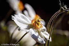 20190831-3007-Anemoon-bw (Rob_Boon) Tags: anemoon macro on1 plant tegenlicht tuin robboon