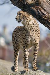 Cheetah standing on the rock (Tambako the Jaguar) Tags: cheetah big wild cat portrait face standing rock stone branch log profile basel zoo zolli switzerland nikon d850