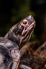 OBX Turtle 3-0 F LR 8-2-19 J087 (sunspotimages) Tags: animal animals turtle turtles zoo zoos aquarium ncaquarium northcarolinaaquarium nature wildlife