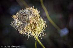 20190824-2815-Kruid-bw (Rob_Boon) Tags: plant macro tegenlicht on1 kruid dikkebuiksweg backlight weed robboon