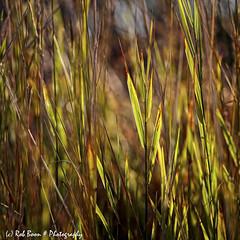 20190824-2797-Gras-bw (Rob_Boon) Tags: dikkebuiksweg gras macro on1 plant tegenlicht robboon grass backlight