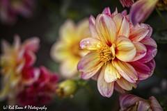 20190901-5463-Dahlia-bw (Rob_Boon) Tags: dahlia macro on1 plant wijlre robboon