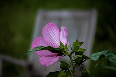 the flower and the chair (Pejasar) Tags: flower bloom blossom hibiscus garden park thegatheringplace tulsa oklahoma whitechair pinkflower rain drops water contrasts beauty nature