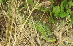 Western Green Lizard (Lacerta bilineata) (Nick Dobbs) Tags: reptile lizard western green lacerta bilineata naturalised dorset male