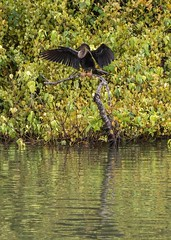 Belize-Excursion-Anhinga2 (lelizard) Tags: cruise ncl breakaway caribbean westerncaribbean belize harvestcaye port monkeytown anhinga bird