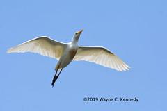 Cattle Egret in flight over St. Augustine (wayne kennedy EDD) Tags: cattleegret egret bird staugustinealligatorfarm florida inflightphoto