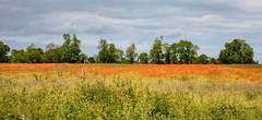 Poppy field outside Carentan, Normandy, France. (Ratters1968: Thanks for the Views and Favs:)) Tags: canon5dmkiv martynwraight ratters1968 canon dslr photography digital eos france normandy peninsula poppy poppyfields carentan view landscape beauty scenery culture nature natural wildlife