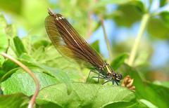 Beautiful Demoiselle (Calopteryx virgo) (Nick Dobbs) Tags: beautiful demoiselle damselfly dragonfly insect virgo calopteryx dorset