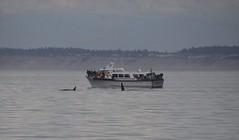Two Orcas alongside MV Redhead 2019-09-01 SU IMG_9613 (acturpin) Tags: orcas mvredhead