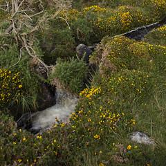 gorse and stream (Wendy:) Tags: ireland west connemara stream gorse yellow