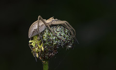 Pisaura sp. (SaZiRi) Tags: spider ragno arachnid pisaura macrounlimited macrodreams macro canon ef100 eos200d ef100mm