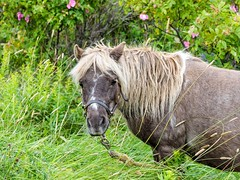 A Horse of Course (Karen_Chappell) Tags: horse pet animal rural grass green brown nfld bellisland canada newfoundland avalonpeninsula atlanticcanada outdoors field mammal