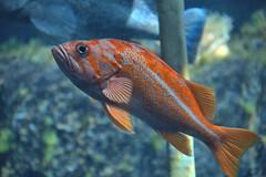 Something Fishy (Scott 97006) Tags: fish zoo aquarium orange swim captivity