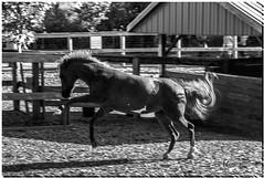 AUGUST 2019 NGM_2914_9496-1-222 (Nick and Karen Munroe) Tags: colt foal horse chinguacousypark chinguacousy karenick23 karenick karenandnickmunroe karenandnick munroe karenmunroe karen nickandkaren nickandkarenmunroe nick nickmunroe munroenick munroedesigns photography munroephotoghrpahy munroedesignsphotography nature landscape brampton bramptonontario ontario ontariocanada outdoors canada d750 nikond750 nikon nikon2470f28 2470 2470f28 nikon2470 nikonf28 f28 blackandwhite bw blackwhite bandw monochrome mono
