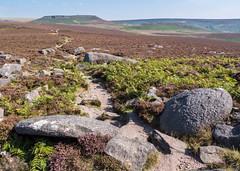 The path to Higger Tor (Maria-H) Tags: millstone heather moorland hills peakdistrict derbyshire uk olympus omdem1markii panasonic 1235