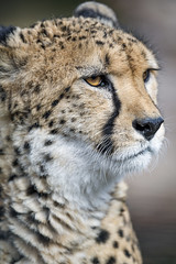 Portait of a calm cheetah (Tambako the Jaguar) Tags: cheetah big wild cat male close semiprofile portrait face calm looking attentive basel zoo zolli switzerland nikon d850