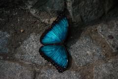 Morpho Peleides. (Azariel01) Tags: 2019 antwerpen belgique belgium zoo papillon butterfly morpho morphopeleides morphobleu bluemorpho emperor empereur macro closeup sol ground
