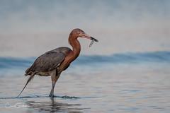 I Got Mine! (craig goettsch - out shooting) Tags: bunchebeach sanibel2019 reddishegret egret fish beach water blue avian bird wildlife nature nikon d500