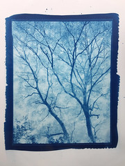 Acontius Project: 'Fraxinus in silvis pulcherrima' – 8x10 cyanotype º (CactusD) Tags: chamonix 810v 8x10 10x8 largeformat large format film greatbritain great britain uk unitedkingdom gb england warwickshire whichford whichfordwood woodland ash fraxinus trees tree ilford fp4plus blackandwhite monochrome bw black white blackwhite nikkor epson v850 silverfast pyrocathd btzs texture landscape virgil eclogues pastoral eclogue7 altpro cyanotype alternativeprocesses contactprinting contactprints berggercot320paper 11x14 nikkorsw 150mm f8