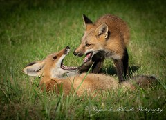 Young Foxes interacting together (Hugues de Milleville) Tags: fox young playing youngfox rough ontario park citypark wildlife wildlifephotography photography nature naturephotography light nikon nikoncanada d810 tamron tamron150to600 huguesdemillevillephotography