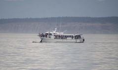 Orca alongside MV Glacier Spirit 2019-09-01 SU IMG_9636 (acturpin) Tags: orca mvglacierspirit
