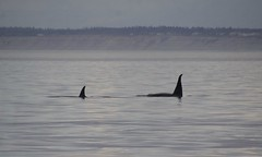 Two Orcas 2019-09-01 SU IMG_9580 (acturpin) Tags: orcas pugetsound