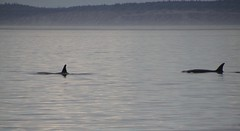 Two Transient Orcas 2019-09-01 SU IMG_9537 (acturpin) Tags: orcas pugetsound