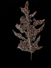Speckled Decay (flickr flame) Tags: leaf dead decay veins fragments speckled amber autumn brown