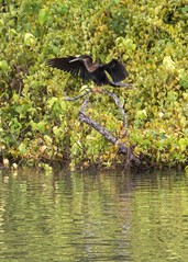 Belize-Excursion-Anhinga1 (lelizard) Tags: cruise ncl breakaway caribbean westerncaribbean belize harvestcaye port monkeytown anhinga bird